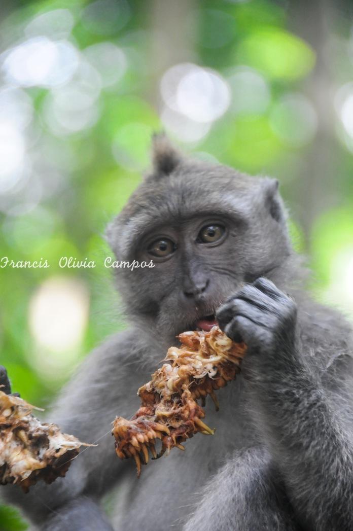 Macaco na Monkey Forest